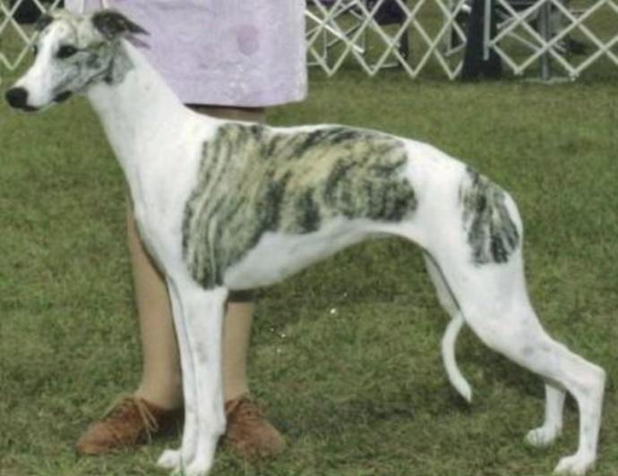 The Kaikadi dog is an excellent Indian dog that requires very little care.