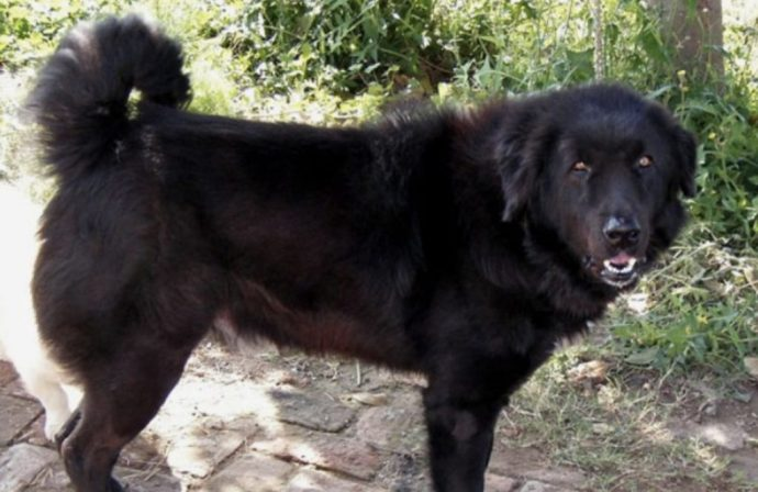 The Bakharwal is an indian dog breed that is nearly extinct.