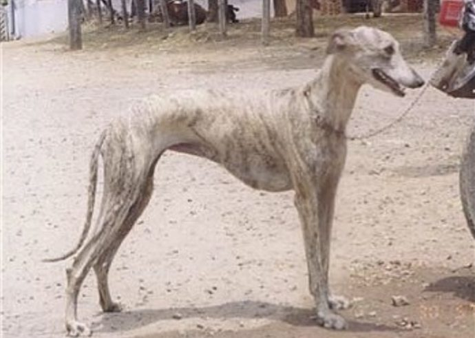 The Rampur hound is a rare and exotic dog breed from india.