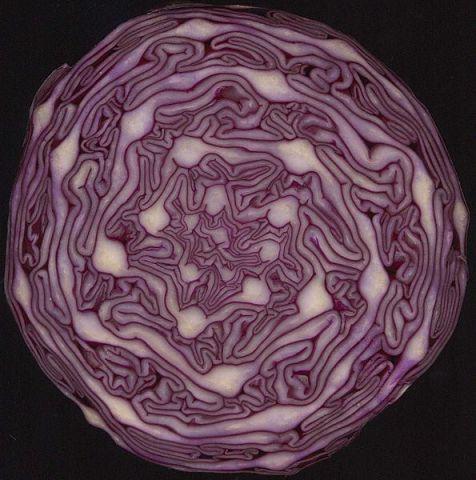 fibonacci spiral in cabbage