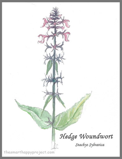 Hedge Woundwort hand painted image