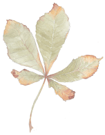 horse chestnut leaf illustration