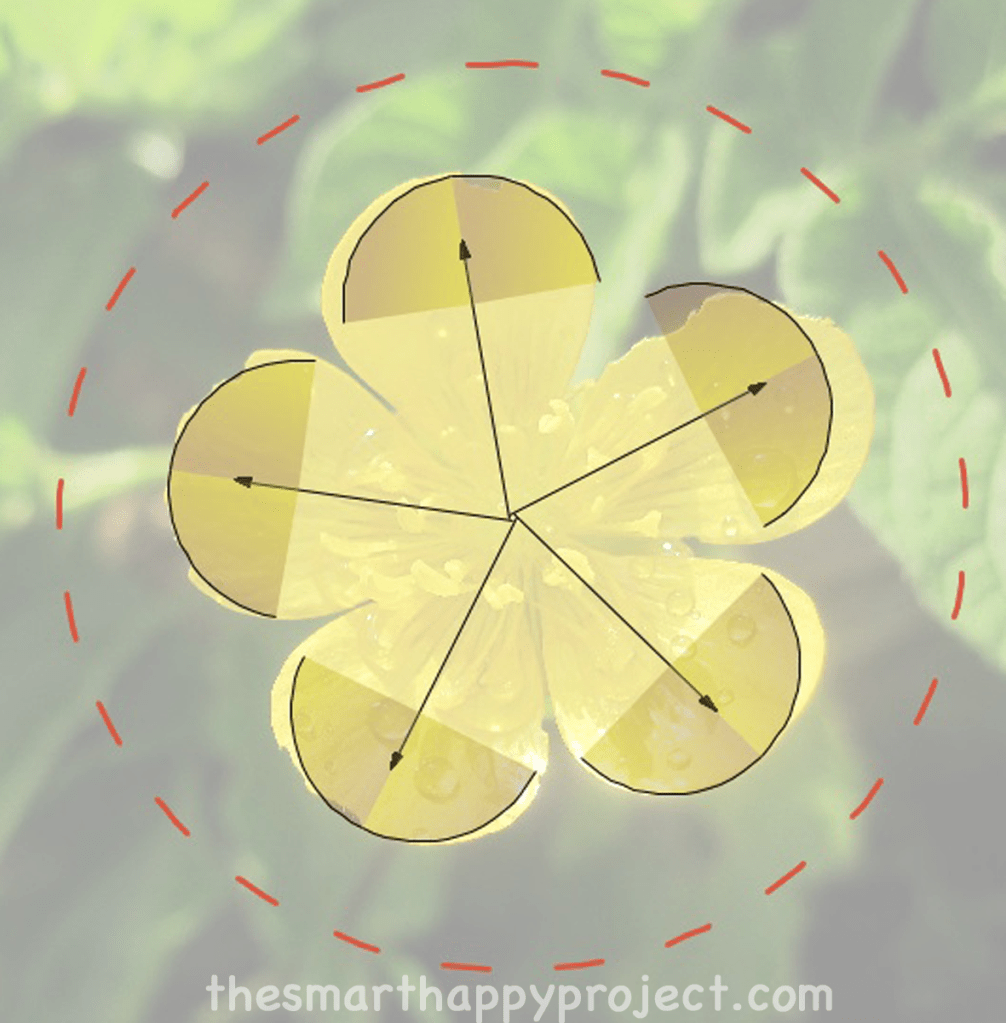 buttercup displaying rotational or radial symmetry