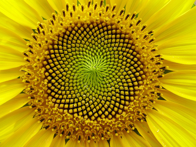 fibonacci in a sunflower