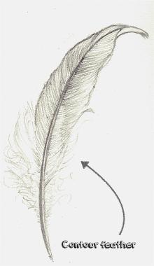 how do birds fly - contour feather