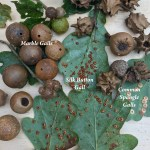 Galls – shape shifters of the insect world