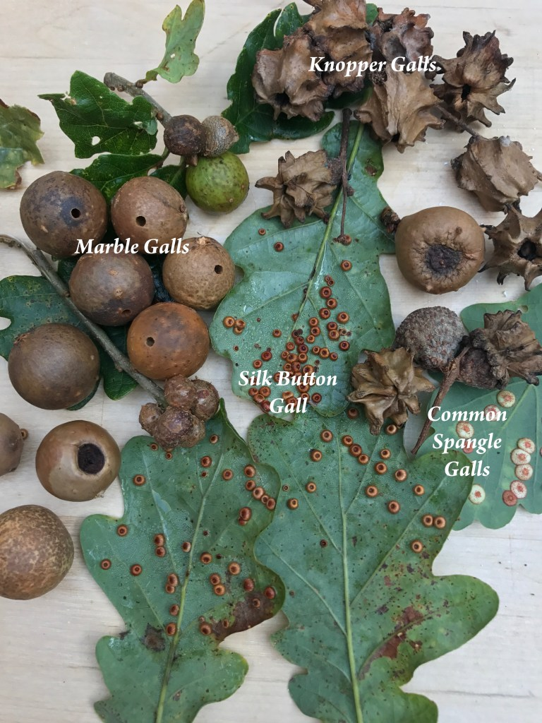 Galls; shape shifters of the insect world