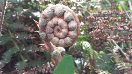 natural spiral in fern
