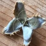 Beechnut and Geometry