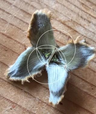 Beechnut and geometry - sacred