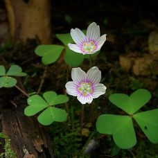 oxalis montana - hearts in nature
