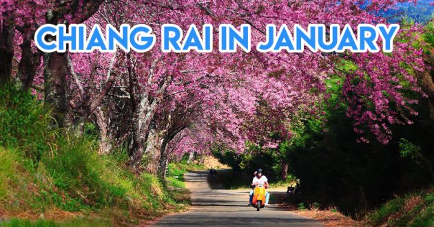Best cherry blossoms in Thailand (1) - Chiang Rai in January