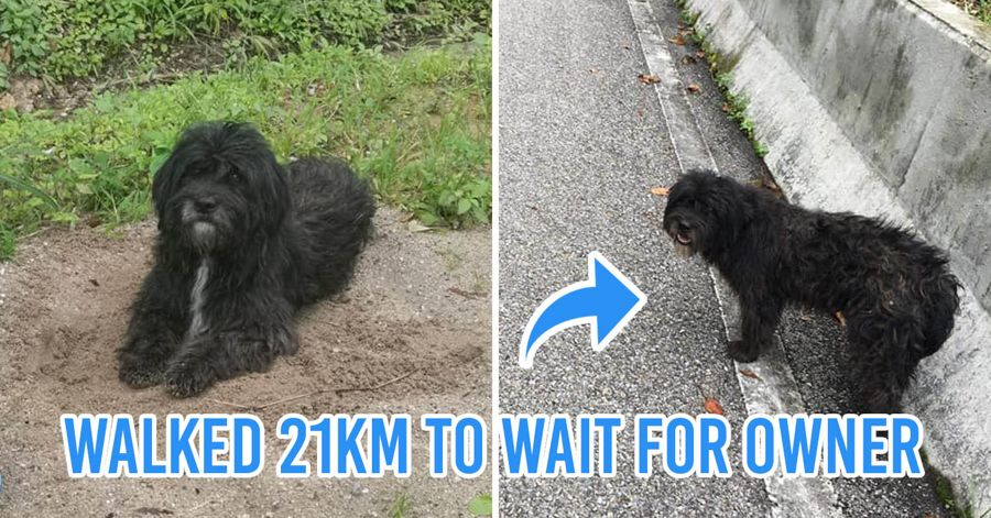 Thai dog walks 21 km to wait for owner Chiang Mai