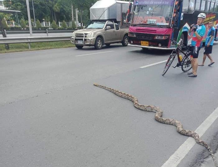 Python crosses Thai road