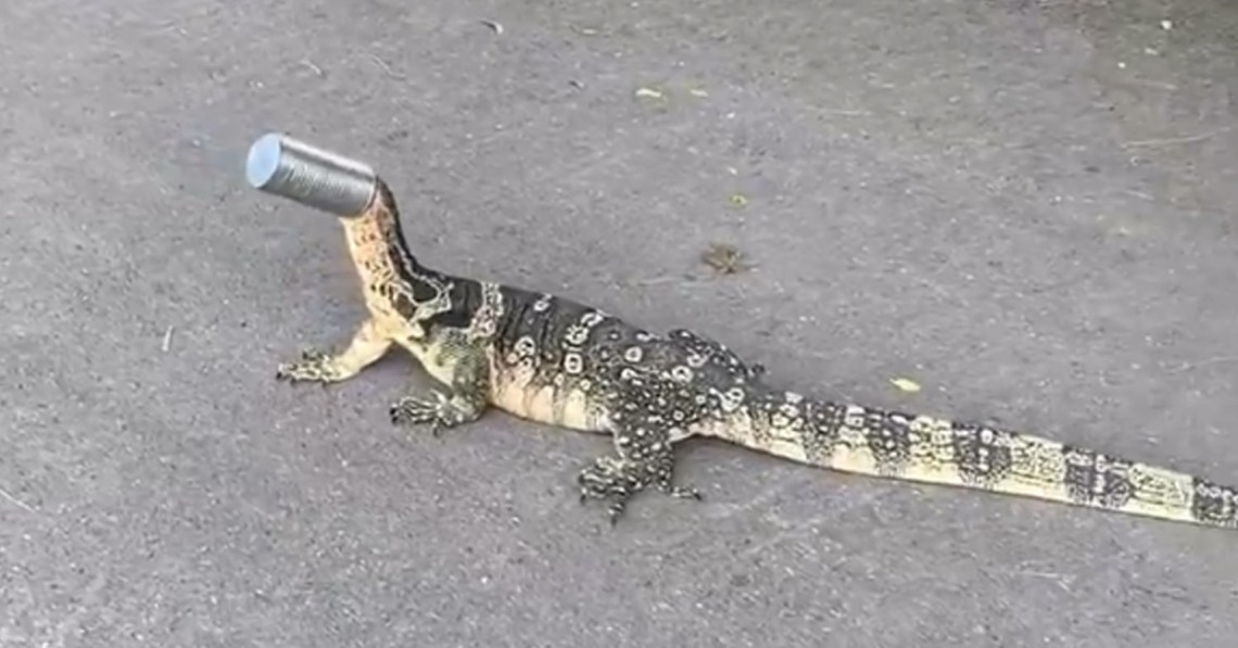 Monitor Lizard Rescued After Month