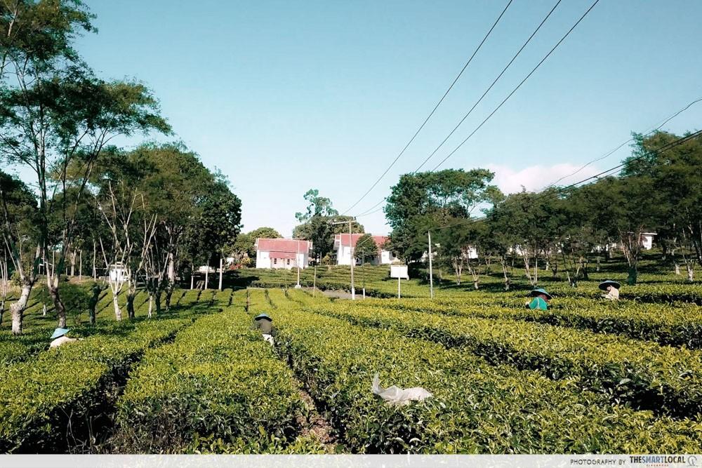 wonosari tea plantation