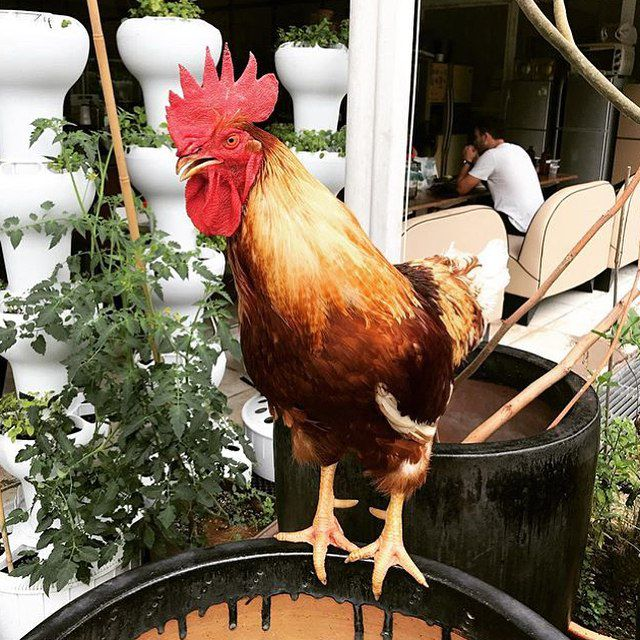 rooster citizen farm