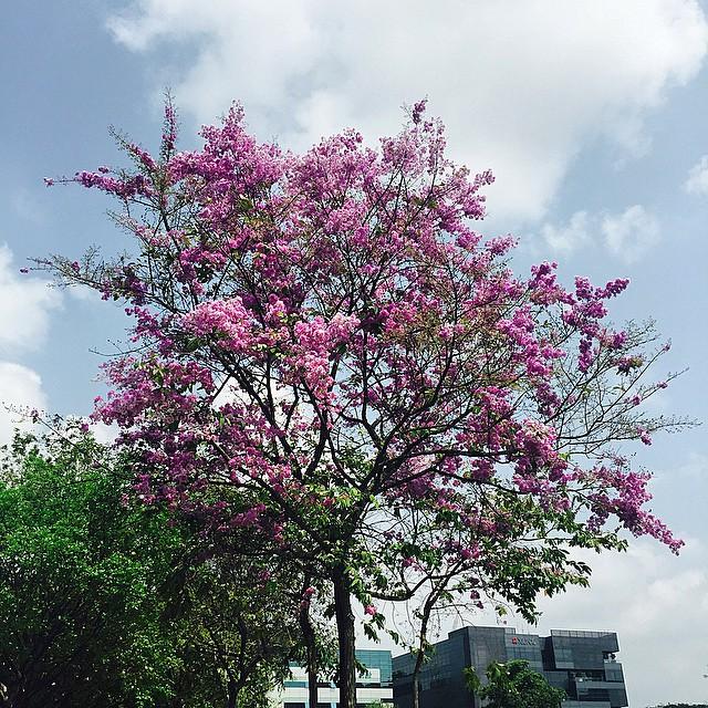 tengah estate - pink trumpet tree