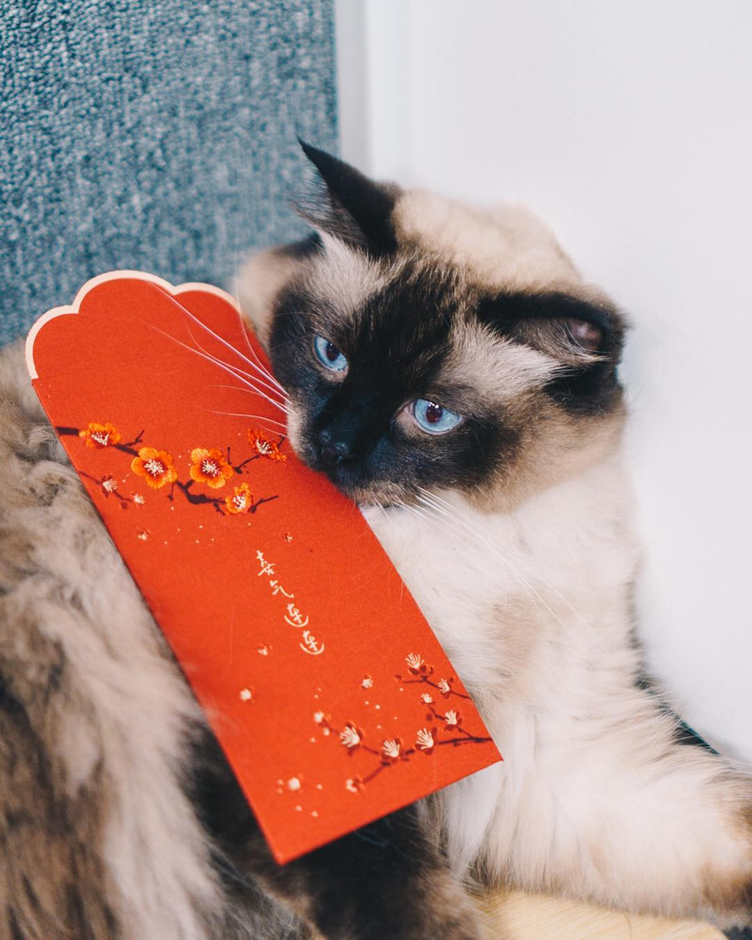 Cat with angbao