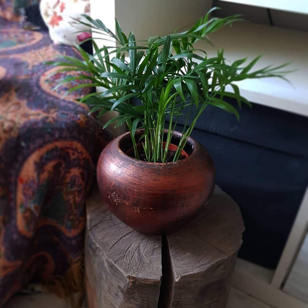 areca palm in a pot