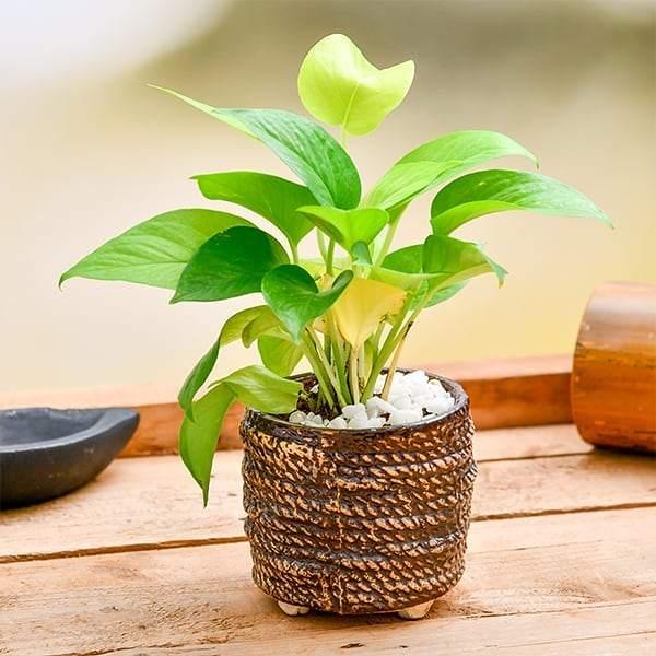 money plant in a pot
