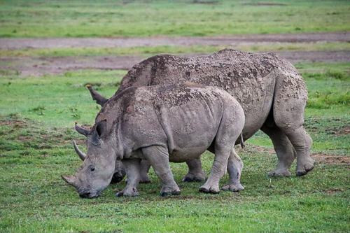 Adult and baby rhino