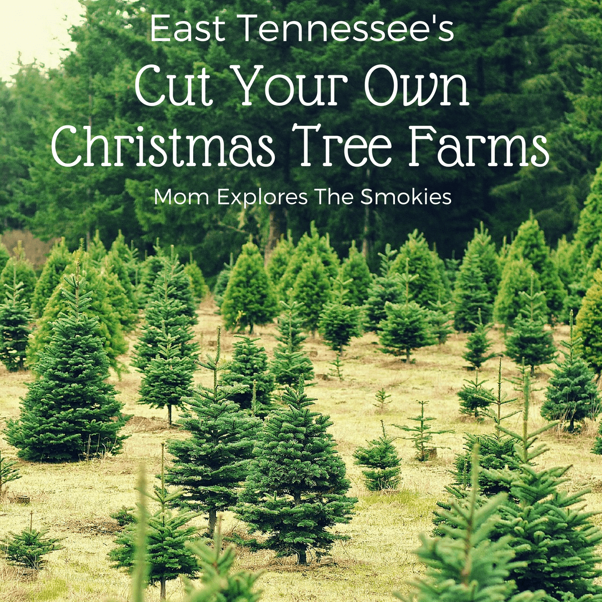Cut Your Own Christmas Tree | Mom Explores the Smokies