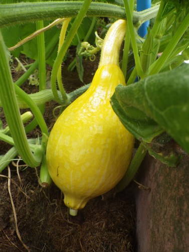 Boston squash (a young one)