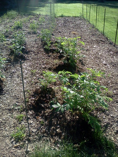 Potatoes mulched with fall leaves