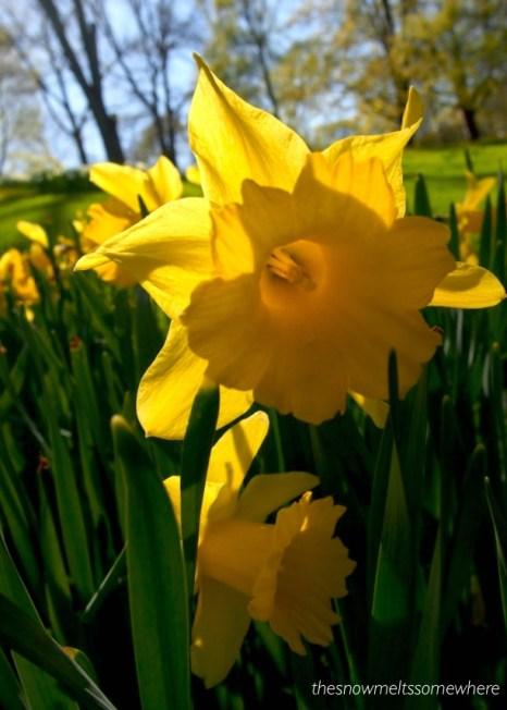 Daffodils in Helsinki one spring years ago