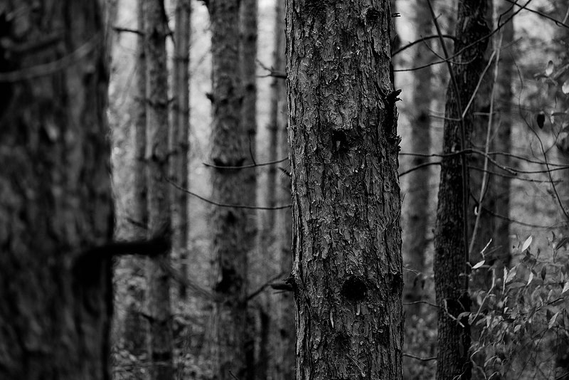 TreesCloseUpBW
