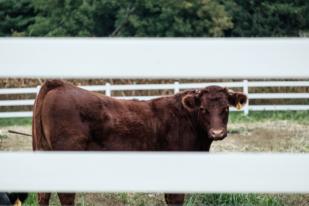 cow-through-fence