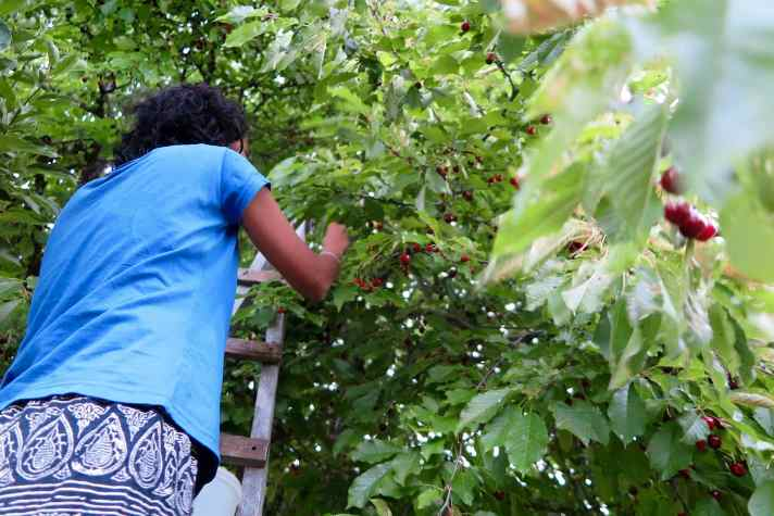 A young woman in blue t-shirt standing on a ladder picking cherries