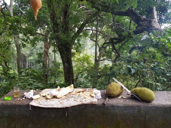 Jackfruit placed on a cement bench with forest in background