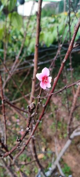 Himalayan cherry flower on a lone dry branch