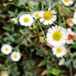 mexican wall daisy in white color