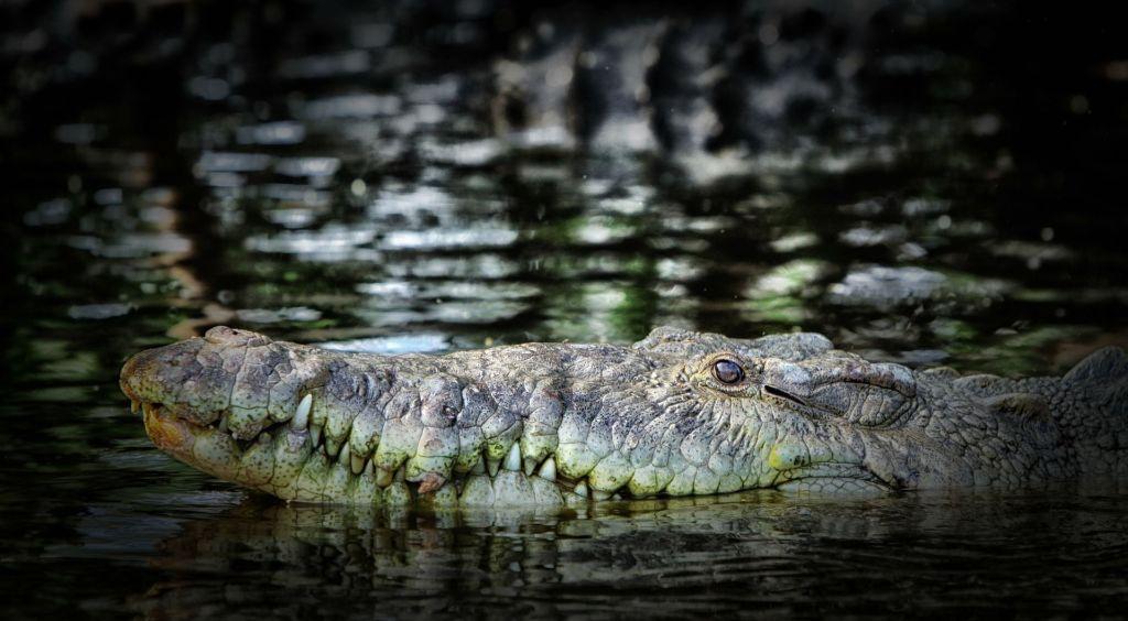 crocodile-166717_1920