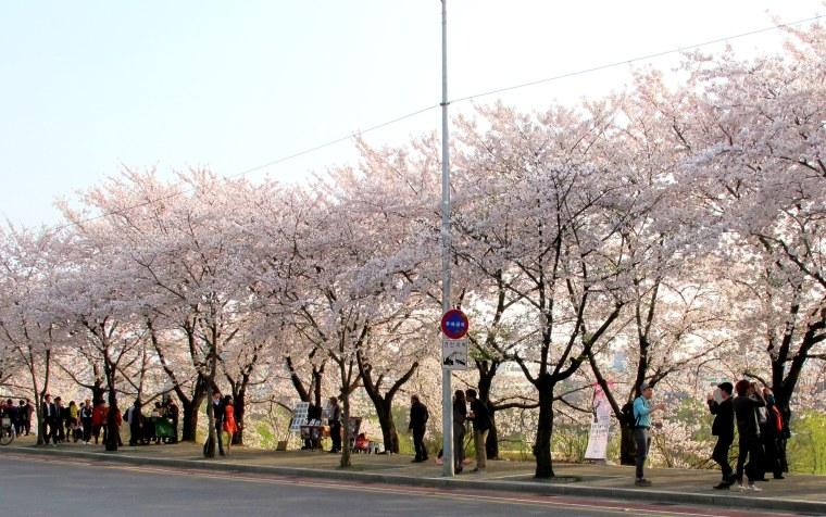 Yeouido Cherry Blossom Festival Street view