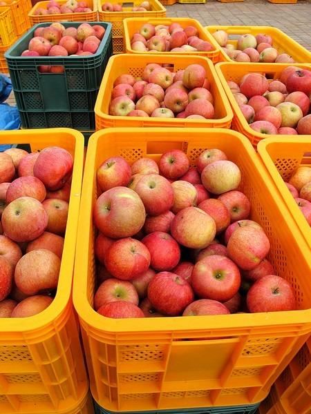 Apple Picking, Cheongsong, Korea