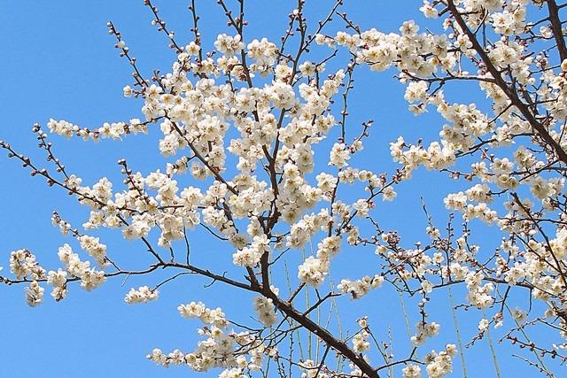 Seoul, Korea: Bukchon Spring Flowers