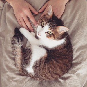 cat on a lap with hands