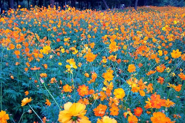 Nanji Stream Park, Mapo-gu, Seoul, Korea: Autumn Flowers