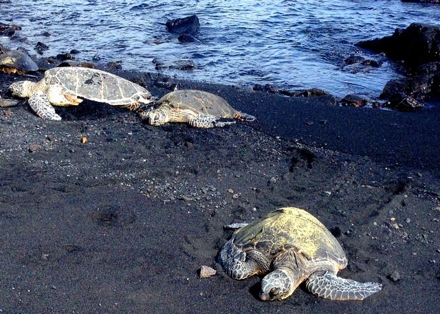 Punalu'u Black Sand Beach, The Big Island, Hawaii, US, sea turtles
