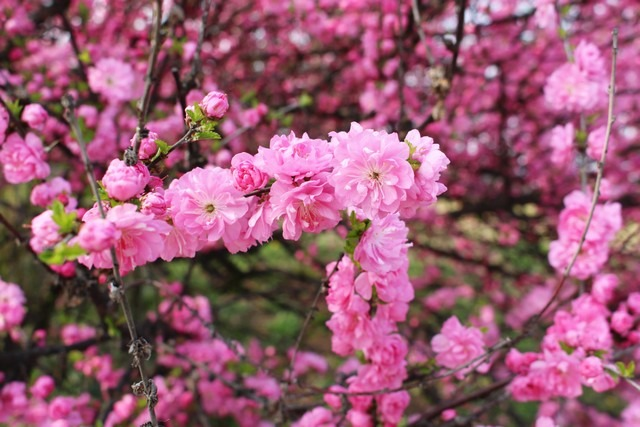 Pyeonghwa Park Is Abloom With Cherry Blossoms