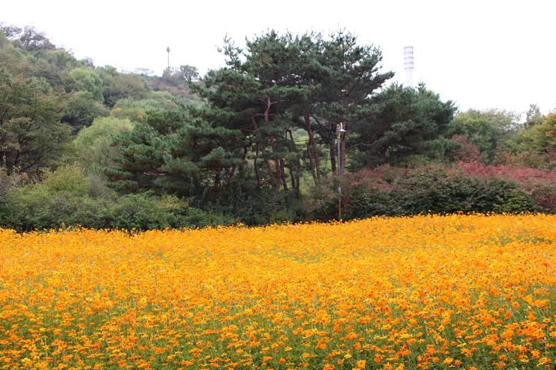 Nanji Stream Park, World Cup Park, Mapo-gu, Seoul, Korea: Cosmos Field