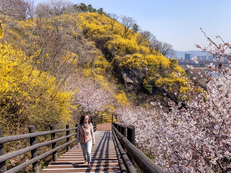 Eungbongsan Mountain, Seoul, Korea: Spring Cherry Blossoms & Forsythia Flowers, Hallie Bradley