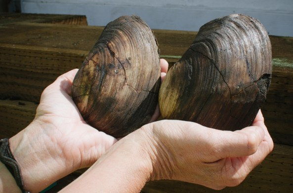 Geoducks (ancient clams) found while digging the exploratory shaft. Photo by Steve Hymon/Metro.
