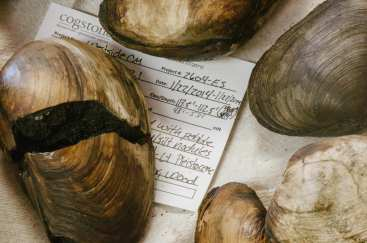 Geoducks -- a type of clam -- found while digging was underway.