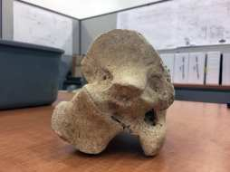 The bone was identified as the proximal right tibia of a bison antiquus. Joseph Lemon / Metro