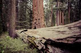 Sequoias in Kings Canyon National Park.